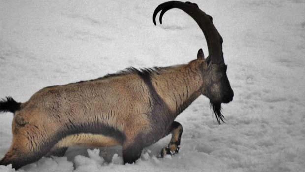 Dersim'de dağ keçileri için bakanlığa başvuruldu