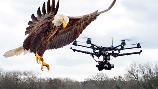 Doğa ve teknolojinin savaşı başlıyor! Kartal drone'a karşı