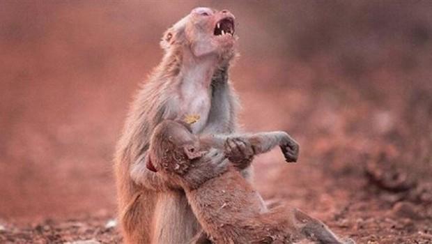 Anne maymunun 'feryadı' kamerada