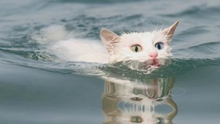 Van kedileri için yüzme havuzu