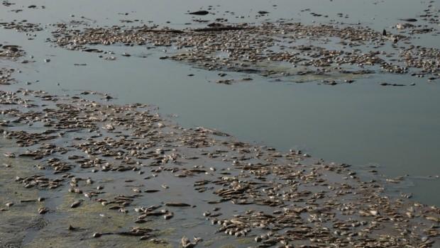 Diyarbakır'da binlerce balık kıyıya vurdu
