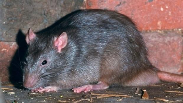 Tahran'ı fareler bastı