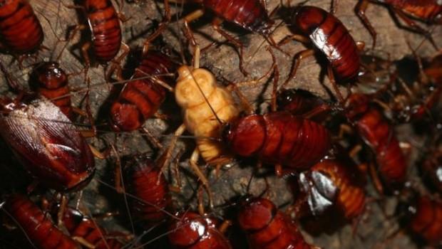 Çin devasa çiftliklerde neden yılda 6 milyar hamam böceği üretiyor?