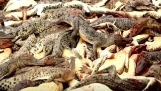 Endonezya'da timsahlara intikam saldırısı