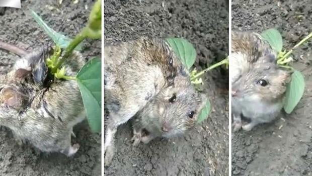 Sırtında soya filizi büyüyen sıçan görenleri hayrete düşürdü!
