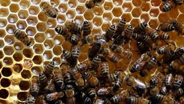 Van'da arı ölümleri korkuttu