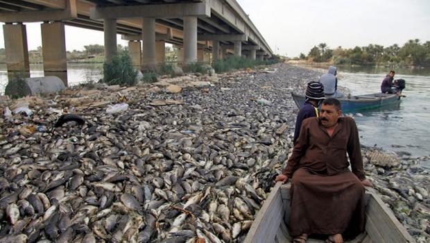 Fırat ve Dicle'de binlerce ölü balık karaya vurdu