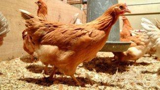 İskoçyalı uzmanlar 'kanser ilaçları yumurtlayan' tavuk yetiştirdi