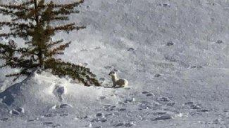 Nesli tükenen beyaz gelincik Kürt illerinde görüldü