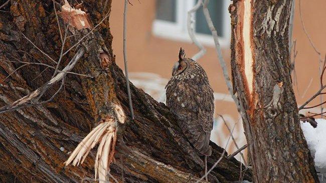 Dersim'de nesli tükenmekte olan kulaklı orman baykuşu görüntülendi