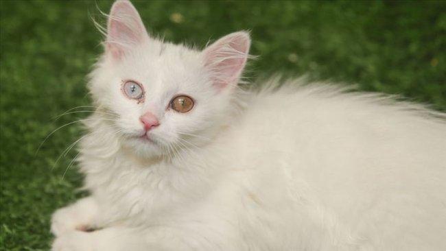 Van kedisinden rekor doğum