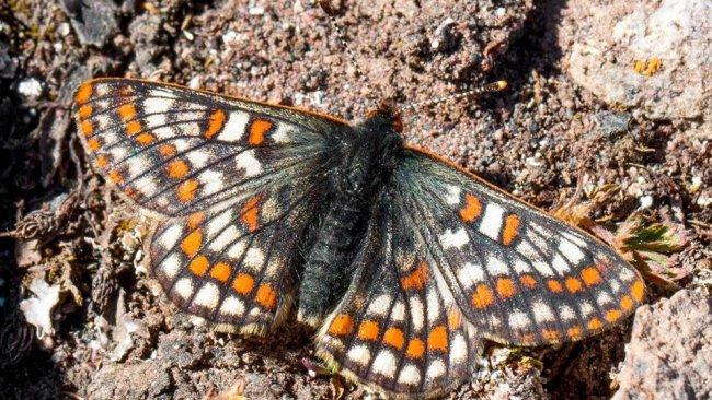12 bin yaşındaki kelebek, Ağrı Dağı'nda yeniden görüntülendi