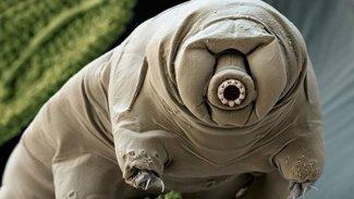 Bilim insanları, su ayılarının nasıl 'tank' kadar dayanıklı olduğunu buldu