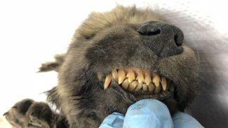 18 bin yıllık neredeyse hiç bozulmamış bir yavru hayvan cesedi bulundu.