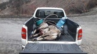 Dersim Barosu'ndan dağ keçileri için suç duyurusu