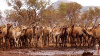 5 bin yabani deve helikopterden açılan ateşle öldürüldü