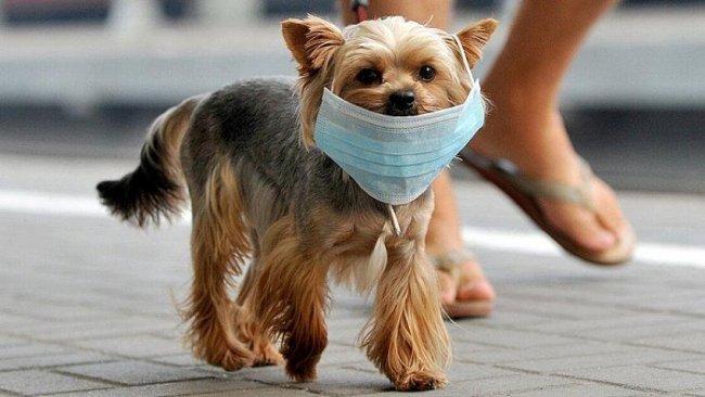 Koronavirüs ilk kez bir köpekte görüldü