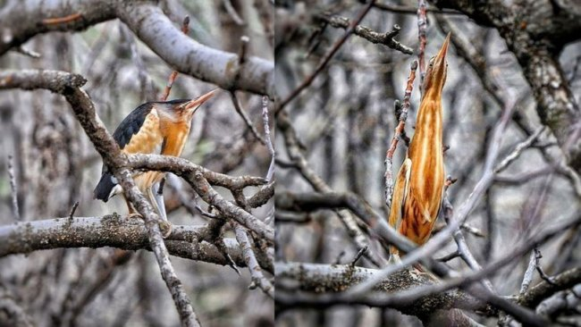 Nesli tükenme tehlikesindeki 'Hint Balıkçıl' kuşu görüntülendi