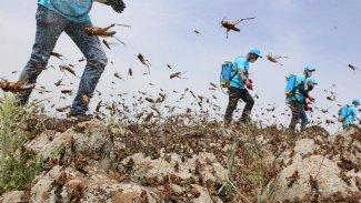 Kovid-19'un ardından dünyayı bekleyen yeni tehlike: Locust-19