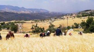 Şırnak'ta HDP ve AK Partili başkanlar Kürtçe şarkı eşliğinde buğday biçti