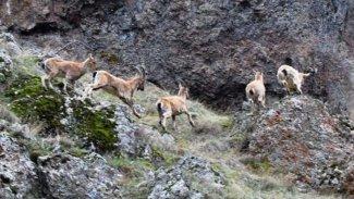 Dersim'de Dağ Keçilerini avlatma ihalesi yargıya taşındı