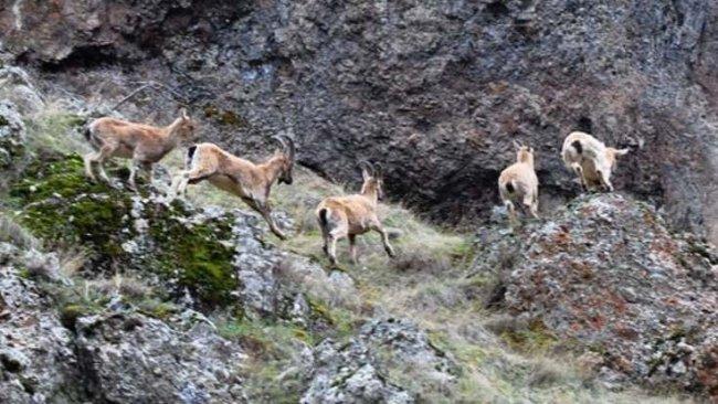 Dersim'de nesli tükenmekte olan dağ keçileri ölü bulundu